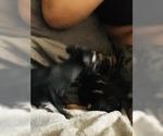 Harlequin Pinscher Puppy For Sale in EDWARDSBURG, MI, USA