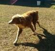 Australian Shepherd Puppy For Sale in ALLEN JAY, North Carolina,