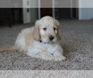 Goldendoodle Dog for Adoption in VISALIA, California USA