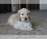 Goldendoodle Puppy For Sale in VISALIA, CA, USA