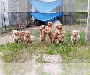 Golden Retriever Puppy for Sale in SAN JOSE, California USA