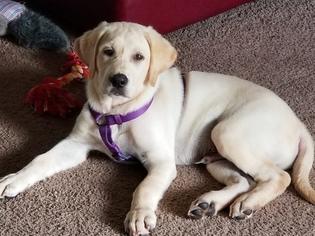View Ad Labrador Retriever Puppy For Sale Florida New Port Richey