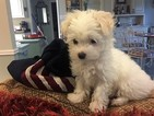 Maltese Puppy For Sale in WIMBERLEY, TX