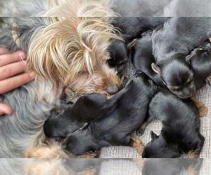 Yorkshire Terrier Puppy for sale in NASHVILLE, TN, USA