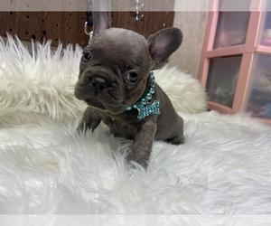 French Bulldog Puppy for Sale in PUYALLUP, Washington USA
