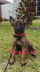 Belgian Malinois Puppy For Sale in PALMHURST, TX