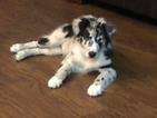 Australian Shepherd Puppy For Sale in LEXINGTON, North Carolina,
