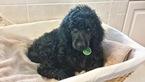 Puppy 8 Poodle (Standard)