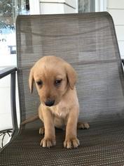 Labrador Retriever Puppy For Sale in COLUMBIA, IL, USA