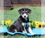 Small #1 Labrador Retriever-Siberian Husky Mix