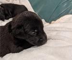 Puppy 11 Goldmaraner