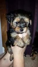 Morkie Puppy for sale in WESTLAND, MI, USA