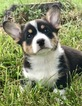 Pembroke Welsh Corgi Puppy For Sale in POLO, MO,