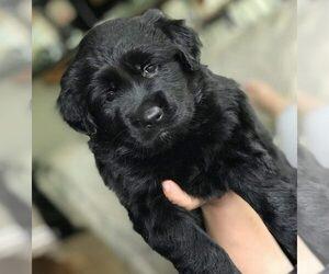 Golden Shepherd Puppy for Sale in KENTS STORE, Virginia USA