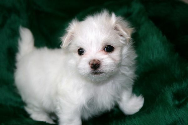 maltese puppy for sale in tn view ad maltese puppy for sale near tennessee karns usa 8073