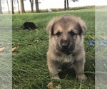 Small #26 German Shepherd Dog