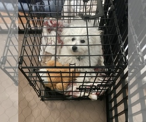 Bichon Frise Puppy for sale in MOUNT VERNON, NY, USA