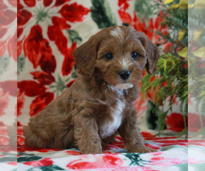 Cavapoo Puppy for sale in PARKESBURG, PA, USA