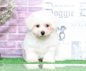 View Ad: Bichon Frise Puppy for Sale near Maryland, BEL AIR