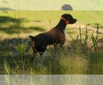 Small #7 German Shorthaired Pointer