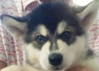 Alaskan Malamute Puppy For Sale in ORLANDO, FL, USA