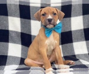American Staffordshire Terrier Puppy for sale in LAKELAND, FL, USA
