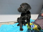 Labrador Retriever Puppy For Sale in LEO, IN, USA