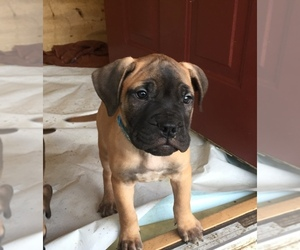 Bullmastiff Puppy for sale in YOUNGSTOWN, OH, USA