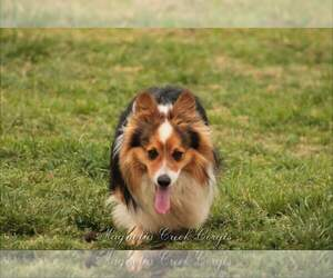 Pembroke Welsh Corgi Puppy for sale in LUTHER, OK, USA