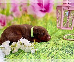 Doberman Pinscher Puppy for sale in PAYSON, AZ, USA