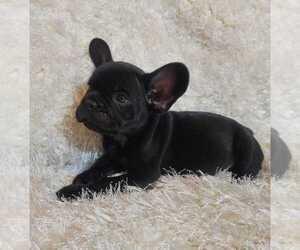French Bulldog Puppy for Sale in BONNEY LAKE, Washington USA