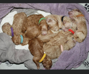 Goldendoodle Puppy for sale in LEOMA, TN, USA