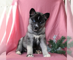 Siberian Husky Puppy for sale in KIRKWOOD, PA, USA