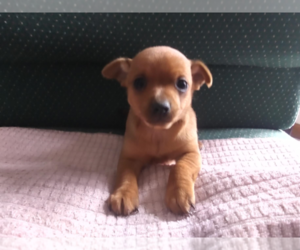Chipin Puppy for sale in CHICAGO, IL, USA
