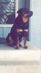 View Ad Rottweiler Puppy For Sale Colorado Colorado Springs Usa