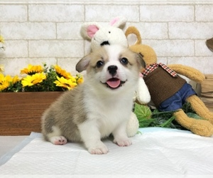 Pembroke Welsh Corgi Puppy for sale in WASHINGTON, DC, USA