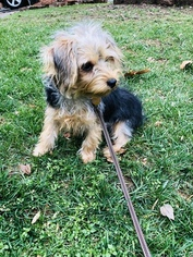 Yorkshire Terrier Puppy For Sale in FAIRFAX, VA, USA