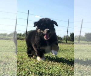 Miniature Australian Shepherd Puppy for sale in PATTONVILLE, TX, USA