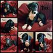 Great Dane Puppy For Sale in PHOENIX, AZ,