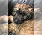 Puppy 3 Catalan Sheepdog