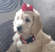 Labradoodle Puppy For Sale in OTTAWA, OH,