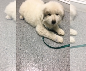 Great Pyrenees Puppy for sale in POWHATAN, VA, USA