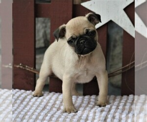 Pug Puppy for sale in NARVON, PA, USA