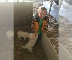Great Pyrenees Puppy for sale in WERNERSVILLE, PA, USA