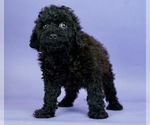 Puppy 14 Poodle (Miniature)