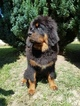 Tibetan Mastiff Puppy For Sale in Balatonszabadi, Somogy, Hungary