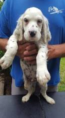 English Setter Puppy For Sale in DENVER, PA, USA