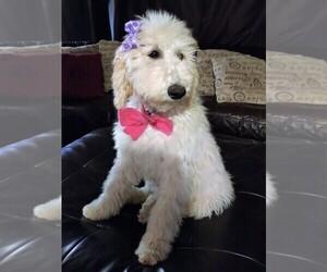 Poodle (Standard) Puppy for sale in RIALTO, CA, USA