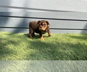 English Bulldog Puppy for Sale in DALLAS, Texas USA