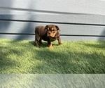 English Bulldog Puppy For Sale in DALLAS, TX, USA